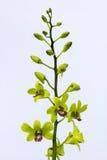 Lichtgele orchideebloemen met purpere centra stock afbeeldingen