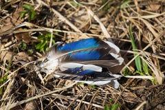 Lichtgrijze ter plaatse verspreide veren Blijft van een wilde vogel Stock Afbeeldingen