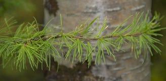 Lichtgroene, jonge twijg van pijnboom royalty-vrije stock afbeelding