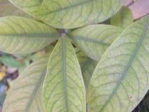 Lichtgroene kleurenbladeren van sierhuisinstallatie Royalty-vrije Stock Foto's