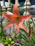Lichtoranje Amaryllis-bloem Stock Foto's