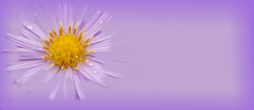 Lichtpaarse bloembanner Stock Foto's