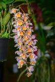 Lichtpaarse en gele Dendrobium-aggregatumbloem royalty-vrije stock afbeelding