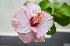 Lichtpaarse Hibiscus Royalty-vrije Stock Fotografie