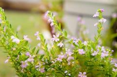 (Lichtpaarse) hyssopifolia van Cuphea Stock Afbeelding