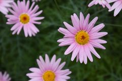 Lichtpaarse Roze Daisy Flowers Blossom stock foto's