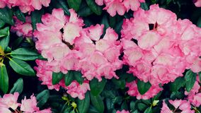 Lichtrose bloemen in de tuin Royalty-vrije Stock Afbeeldingen