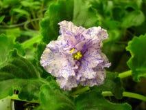 Lichtrose golvende bloem met blauwe fantasieslagen op groene achtergrond Royalty-vrije Stock Afbeeldingen