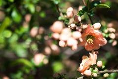 Lichtrose Kweepeer stock foto