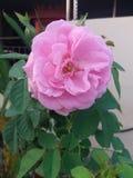 Lichtrose nam/Rosa rugosa toe royalty-vrije stock fotografie