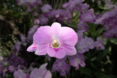 Lichtrose orchideebloem Royalty-vrije Stock Foto's