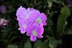 Lichtrose orchideebloem Stock Foto's