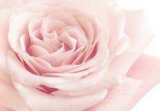 Lichtrose Rose Flower royalty-vrije stock fotografie