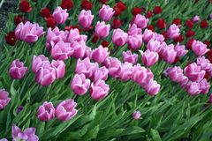 Lichtrose tulpen in de tuin Stock Fotografie