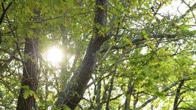 Lichtstrahlen Sun über Baumbreanches und -blättern stock footage