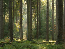 Lichtstralen in bos stock foto's