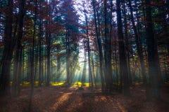 Lichtstralen in de herfstbos stock afbeelding