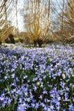 Lichtung der blauen Blumen und der Weiden Stockfotografie