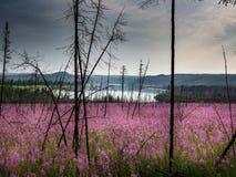 Lichtung des Weidetees im Wald Stockfoto