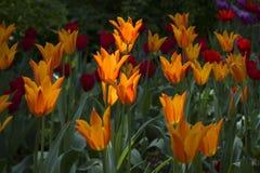 Lichtung punktiert mit den mehrfarbigen Tulpen beleuchtet durch den hellen Sonnenschein stockfotografie