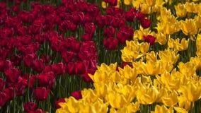Lichtung von roten und gelben Tulpen stock video footage