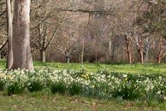 Lichtung von Schneeglöckchen und von Narzissen in einem Garten Lizenzfreie Stockbilder