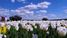 Lichtung von weißen Rosen im Park stock footage