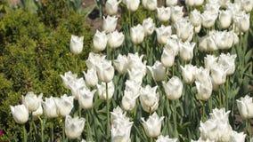 Lichtung von weißen Tulpen