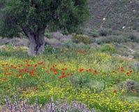 Lichtung von wilden Mohnblumen Stockfotos