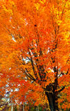 liści jesienią Zdjęcie Royalty Free