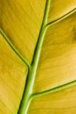 liści tła żółty Zdjęcia Royalty Free