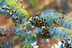 Liścia mallee roślina Fotografia Stock