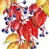 Liście dzicy winogrona, akwarela, wzór na białym tle, bezszwowym Zdjęcie Royalty Free