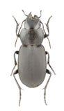 Licinus cassideus Stock Image