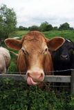 Lick. Brown cow licking its mouth with a large tongue stock photos
