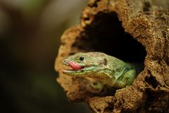 Ocellated lizard in tree branch hole Stock Photography