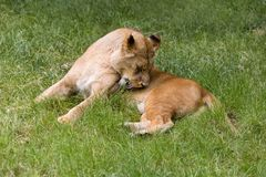 Licking African lioness in grass royalty free stock photos