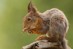 Licking the feet. Close up of  red squirrel  holding and licking the feet Stock Photos