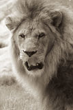 Licking his Lips. A sepia shot of an African lion licking his lips Stock Photos