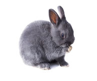 Licking its paw Gray fluffy dwarf rabbit licking its paw. Isolat Stock Photo