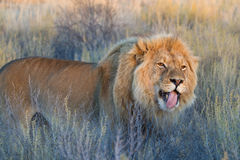 Licking lion royalty free stock images