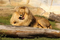 Licking Lion Royalty Free Stock Photos