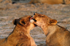Licking Lioness Stock Photography