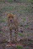 Licking lips. Male cheetah licking lips after finishing off a impala lamb Royalty Free Stock Images