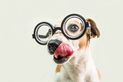 Licking nerd funny dog muzzle in round glasses close up portrait. Smart professor back to school funny pet. Gray Royalty Free Stock Photography