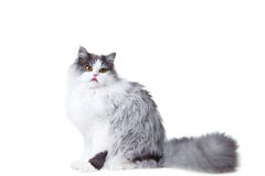 Licking persian cat sitting on isolated white back Royalty Free Stock Images