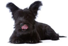 Licking skye terrier puppy Stock Images