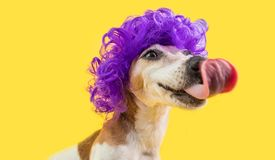 Licking dog face. Waiting for delicious treat yammy food foxy dog muzzle. Funny violet curly wig hairstyle. Yellow royalty free stock photos