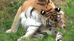 An licking tiger. This beautiful tiger is licking in the grass stock footage