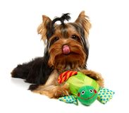 Licking yorkshire with a smiling turtle toy. Isolated on the white background Royalty Free Stock Photos